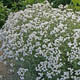 miniature Achillea the pearl 