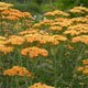 miniature Achillea Tri-colour