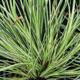 miniature Acorus calamus variegatus