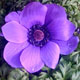 miniature Anemone Harmony Series Blue