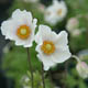 miniature Anemone syl. Macrantha