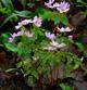 Photo miniature Anémone rosea