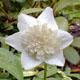 Photo miniature Anémone Vestal