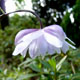 Photo miniature Anemonopsis macrophylla Double flower