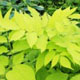 miniature Aralia Sun King