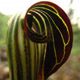 Photo miniature Arisaema griffithii