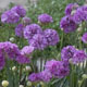 miniature Armeria Ballerina Lilac