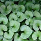 Photo miniature Asarum caulescens