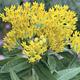 Photo miniature Asclepias tuberosa Hello Yellow