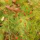 miniature Asparagus schoberioides
