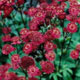 miniature Astrantia Hadspen Blood