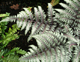 miniature athyrium Pewter lace