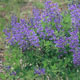 miniature Baptisia Blueberry Sundae