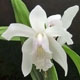 Photo miniature Bletilla striata alba
