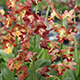 Photo miniature Calanthe Red Selection