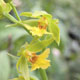 Photo miniature Calanthe nipponica