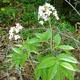 Photo miniature Cardamine heptaphylla