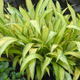 miniature Carex Banana Boat