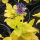 miniature Centaurea Gold Bullion