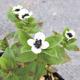 miniature Chamaepericlyemenum Suecicum
