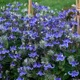 miniature Clematis Stand By Me