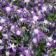 miniature Clematis Violet Stardust