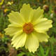 miniature Coreopsis Full Moon