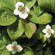 miniature Convallaria majalis rosea