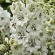 miniature Delphinium Black Eyed Angel