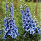 miniature Delphinium Moonlight Blues