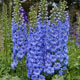 miniature Delphinium Blue Lace