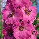 miniature Delphinium Pink Punch