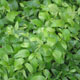 miniature Disporum Green Giant