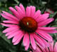 miniature Echinacea Fatal Attraction