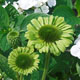 miniature Echinacea Green Jewel