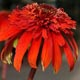 miniature Echinacea Hot Papaya