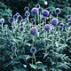 miniature Echinops Veitch's Blue