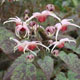 miniature Epimedium Pink Champagne