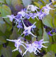 miniature Epimedium Purple Pixie