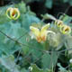 miniature  Epimedium grandiflorum Amber Queen 