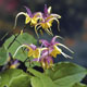 miniature  Epimedium grandiflorum Fire Dragon