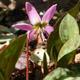 miniature  Erythronium Rose Queen