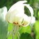 miniature  Erythronium White Beauty