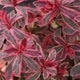 miniature Euphorbia Frosted Flame