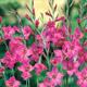 miniature Gladiolus byzantinus