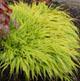 miniature Hakonechloa macra aureola