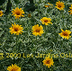 miniature Heliopsis Loraine Sunshine