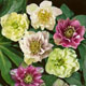 miniature Helleborus Double Queen Mix