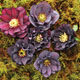 miniature Helleborus Onyx Odyssey 