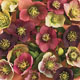 miniature Helleborus Sunshine Selection